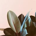Ficus Elastic 2