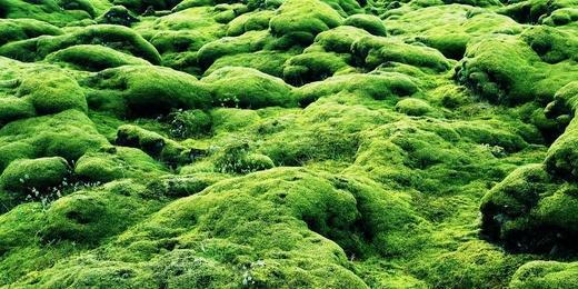 Iceland - Moss