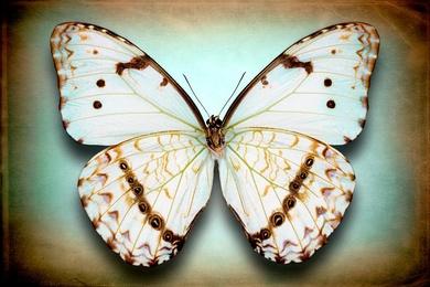Morpho Epistrophus Catenaria