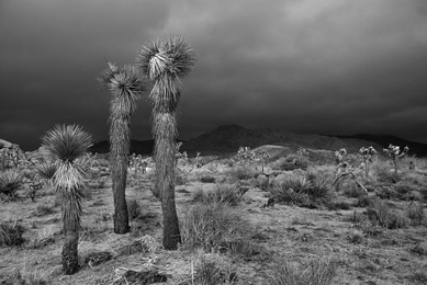 Drama in Joshua Tree