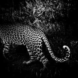 Leopard's Tail
