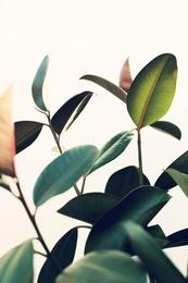 Ficus Elastica 8