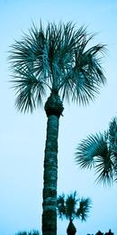 Cyan Palm