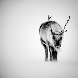 Reindeer Through the Snow, Svalbard