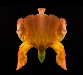 Iris II_Autumn Harvest