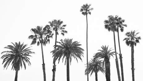 The Palm Trees of Santa Monica
