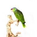Lilac-Crowned Parrot I
