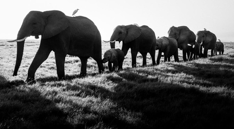 Elephants Family Crossing, Amboseli, Kenya