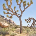 Desert Flora VII - Joshua Tree