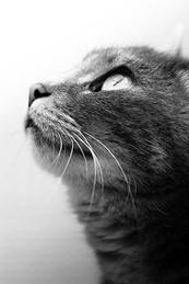 Gazing Cat