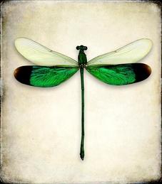 Neurobasis Chinensis (Dragonfly)