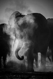 Elephant Behind Dust