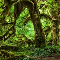 Hoh Rainforest - V
