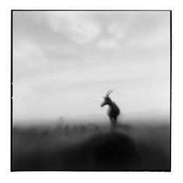 Topi Antelope II