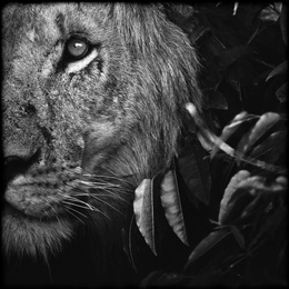 Lion Between Leaves, Kenya