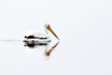 Pelican Reflected