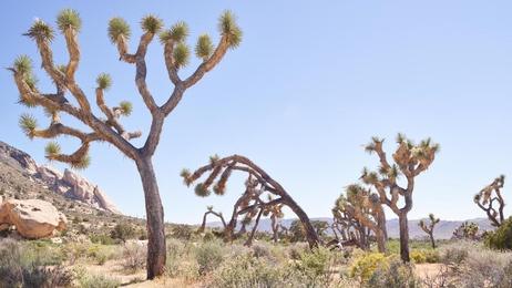 Desert Flora I - Joshua Tree