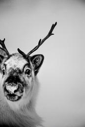 Reindeer II, Svalbard