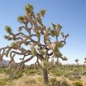 Desert Flora VI - Joshua Tree