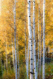Thin Birches
