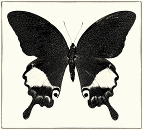 Papilio Paris No. 5