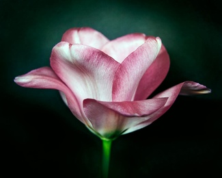 Botanical Rose