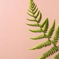 Fern Study on Pink 2