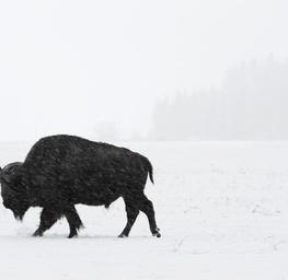 Bison I