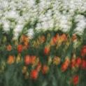 Tulip Abstract VIII