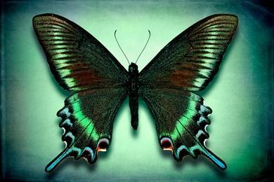 Papilio Maackii Maackii