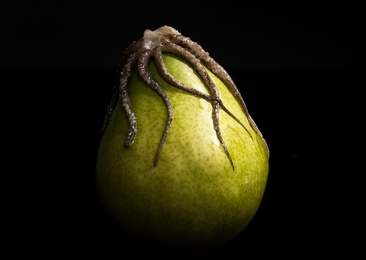 Pear & Octopus