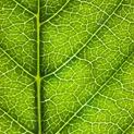 Leaf Lines IV
