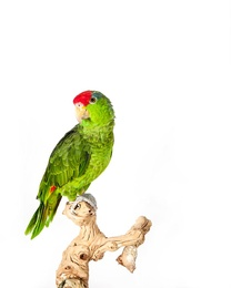 Parakeet III