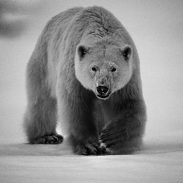 Polar Bear II - Baffin Island, Canada