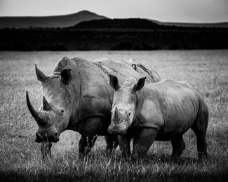 Baby Rhino Protected by Mother