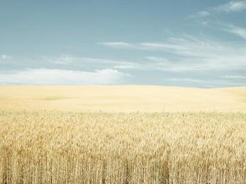 Wheatko