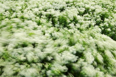 Swirling Hoary Cress