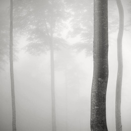 Beeches in Mist, France