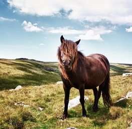 Horse of Dartmoor