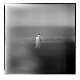 Chinstrap Penguin II