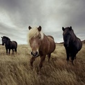 Horses in a Field II