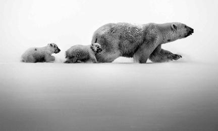 Polar Bear With Cubs, Baffin Island Canada