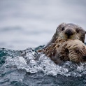 Sea Otter, Katmai National Park