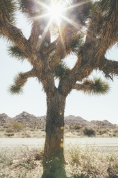 Joshua Tree Sunbeam