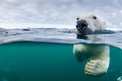 Polar Bear Swimmer