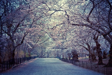 Spring Cherry Blossoms - Central Park