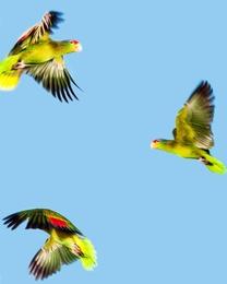 Pandemonium of Parrots