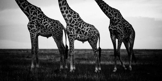 Head Off Giraffes