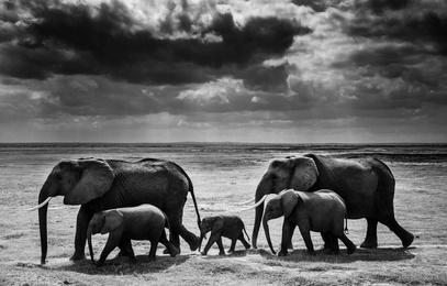 Elephant Calf Between Adults, Kenya