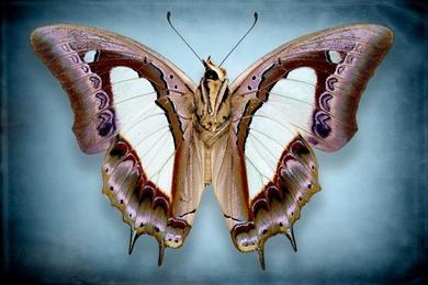 Papilio-Athamas-Samatha